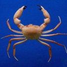 62550 Crab taxidermy - Carcinoplax crosnieri c.f. , 36.4 mm