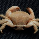 57451 Hairy crab - Pilumnus takedai, 10 mm