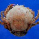 59411 Sponge crab - Lauridromia indica, 40 mm