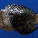 63516 Blackeye thicklip wrasse Hemigymnus melapterus, 104.5 mm
