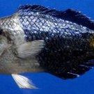 75328 Blackeye thicklip wrasse Hemigymnus melapterus, 180 mm