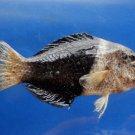 75402 Blackeye thicklip wrasse Hemigymnus melapterus, 105 mm