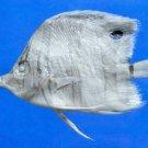 59969 Copperband butterflyfish Chelmon rostratus, 56.3 mm