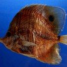 61928 Copperband butterflyfish- Chelmon rostratus, 127 mm