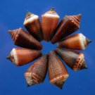 B503 Craft shells- Tiny conus, dark, 12 pcs