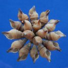 B503 Craft shells- Turridrupa prestoni shells, 12 pcs.