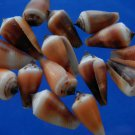 B504 Craft shells - Small shells Conus carinatus -02, 12 pcs.