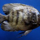 77756  Sixbar angelfish- Pomacanthus sexstriatus, 211 mm Freeze Dried Taxidermy