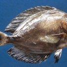 B278 78308 Finelined Surgeon fish - Acanthurus grammoptilus, 145 mm