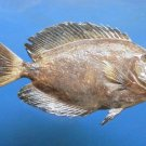 79421 Brown surgeonfish- Acanthurus mata,  215 mm Freeze Dried taxidermy