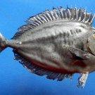 76076 Unicornfish Naso hexacanthus, 163 mm Freeze Dried