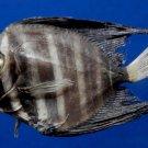 60000 Sailfin Tang fish - Zebrasoma velifer, 48.7 mm Freeze Dried