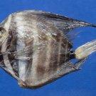 60003 Sailfin Tang fish - Zebrasoma velifer, 38.1 mm Freeze Dried