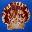 B273 55763 Seashell Annachlamys macassarensis, 46 mm