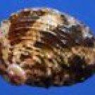 77506 Seashell Haliotis varia, 43 mm