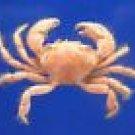 63978 Hairy crab - Pilumnus minutus, 12 mm