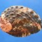 43250 Seashell Haliotis ovina, 41.2 mm