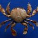 75741  Spotted Moon crabs- Ashtoret lunaris, 62 mm