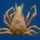 80685 Spider crab Hyastenus convexus 12 mm