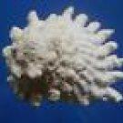 80113 Spurred Turban Astralium calcar 42 mm