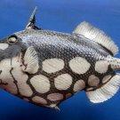 Gems Under the Sea 79619 Clown triggerfish Balistoides conspicillum Taxidermy