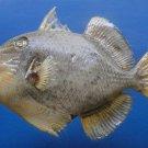 Gems Under the Sea 80829 Yellowmargin Triggerfish Pseudobalistes flavimarginatus 165 mm Taxidermy