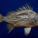 Gems Under the Sea 05215 Silver grunt fish- Pomadasys argenteus, 156 mm
