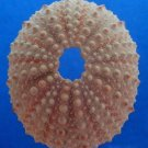 Gems Under the Sea 01626 Sea urchin- Echinometra mathaei, 49 mm