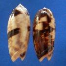 Gems Under the Sea 01080 Seashell Oliva miniacea f. johnsoni, 2 pcs