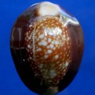 Gems Under the Sea 05025 Seashell Cypraea Monetaria caputserpentis, 32 mm