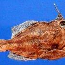 Gems Under the Sea 03017 Scrawled Filefish - Aluterus scriptus, 166 mm