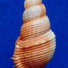 Gems Under the Sea 04328 Seashell Tibia powisi, 53 mm