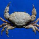 Gems Under the Sea 05029 Round crab- Leptodius nudipes, 15 mm