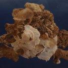 90554 Seashell Xenophora pallidula, 89 mm