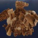 90557 Seashell Xenophora pallidula, 89 mm