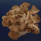 90561 Seashell Xenophora pallidula, 83 mm