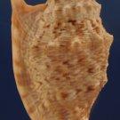 90569 Seashell Strombus chrysostomus, 87.2  mm