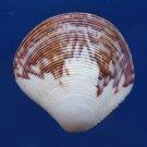 B239 Gems Under the Sea 81726 Seashell Gafrarium aequivocum , 35 mm