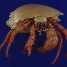 90573 Hermit crab - Dardanus megistos Crustacea (not a live animal)