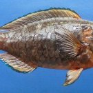 Gems Under the Sea 80883 Dusky Parrotfish Scarus niger 195 mm