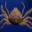 Gems Under the Sea 78458 Spider crab Rathbunaja brevipes 40 mm