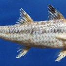 Gems Under the Sea 79547 Bartail Goatfish Upeneus tragula 171 mm
