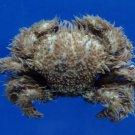 Gems Under the Sea 81651 Hairy Crab Pilumnus vespertilio 20 mm