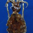 B241 Gems Under the Sea 80123 Southern Calamari Sepioteuthis australis 85 mm