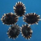 Gems Under the Sea 04067 Sailors Valentine Craft shells Limpets- Siphonaria sirius-04, 1/2 oz