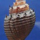 Gems Under the Sea 02892 Landsnail Thiara cancellata, 33.9 mm