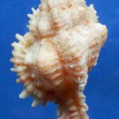 Gems Under the Sea  04793 Seashell Chicoreus problematicus, 66 mm