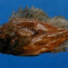 Gems Under the Sea 78040 Golden scorpionfish Parascorpaena aurita 96 mm