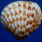 Gems Under the Sea 04461 Seashell Cardites bicolor, 31 mm