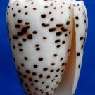 Gems Under the Sea 04678 Seashell Conus pulicarius, 46 mm